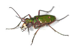 Green tiger beetle. Stock Images