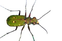 Green Tiger Beetle (Cicindela campestris) Royalty Free Stock Photos