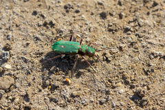 Green tiger beetle. Royalty Free Stock Image