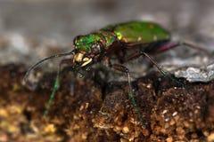 Green tiger beetle (Cicindela campestris) eyes and jaws Royalty Free Stock Images