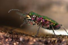 Green tiger beetle (Cicindela campestris) eyes and mandibles Royalty Free Stock Photos