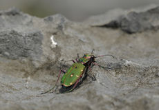 Green Tiger Beetle. Cicindela campestris Stock Photo