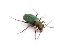 Green Tiger Beetle (Cicindela campestris) isolated on white. Background Stock Photo