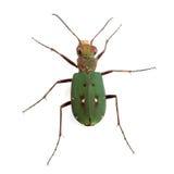 Green Tiger Beetle (Cicindela campestris) isolated on white Stock Image