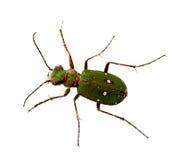 Green Tiger Beetle Cicindela campestris, macro Stock Image