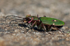 Green tiger beetle, Cicindela campestris Stock Images