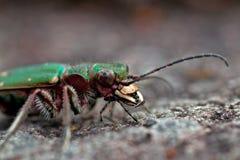 Green tiger beetle, Cicindela campestris. In macro Royalty Free Stock Images