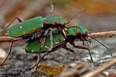 Green tiger beetle, Cicindela campestris mating Stock Image