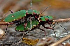 Green tiger beetle, Cicindela campestris mating stock image