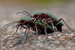 Green tiger beetle, Cicindela campestris mating. In macro Stock Photos