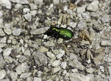 Green Tiger Beetle Stock Image