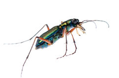 Green tiger beetle, Hetodonta stock photos