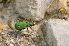 Green Tiger Beetle on pebbles Royalty Free Stock Image