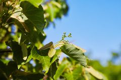 Green tilia buds in early summer stock photo