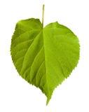 Green tilia leaf Stock Photo