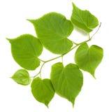 Green tilia leafs on white background Stock Photo