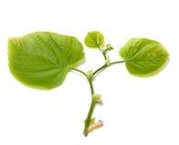 Green tilia leafs on white background. Stock Image