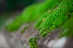 Tiny fern moss carpet in forest royalty free stock images