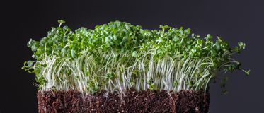 Green tiny sprouted growing out from organic soil isolated on black. Vegetarian food grains sprouted in the ground as macrobiotic food or diet. The concept of stock photos