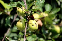 Green to yellow apples with few grey spots and small holes on single branch surrounded with dark green leaves. In local garden royalty free stock photos