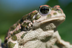 Green toad Royalty Free Stock Photography
