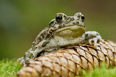 Green Toad Royalty Free Stock Images