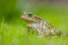 Green toad in bright green Grass Royalty Free Stock Images