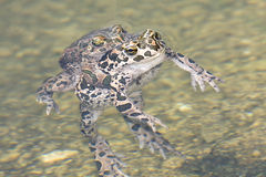 Green toad (Bufo viridis) Stock Image