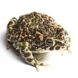 Green toad (Bufo viridis) Royalty Free Stock Images