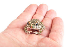 Green toad (Bufo viridis) isolated on white background stock image