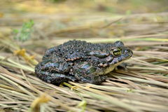 Green toad (Bufo viridis) Royalty Free Stock Photos