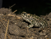 Green toad - Bufo viridis. Green toad, Bufo viridis, portrait while hunting for insects at night stock images