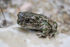 Green toad (Bufo viridis) Stock Photo