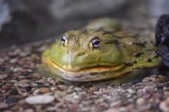 Green toad-bull in a water. Green toad-bull half in a water stock photo