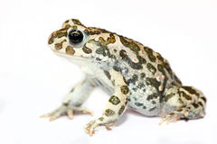 Green toad closeup isolated on white Royalty Free Stock Photo
