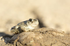 Green Toad Stock Photography