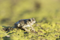 Green Toad Royalty Free Stock Photos