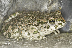 Green toad frog (Bufo viridis) in natural background Stock Photo