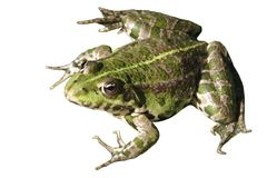 Green toad. png. royalty free stock image