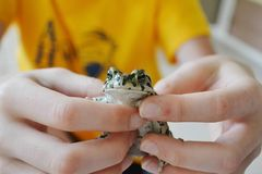 Green toad in hands. Lives in the Anapa region of Krasnodar Krai Stock Photos
