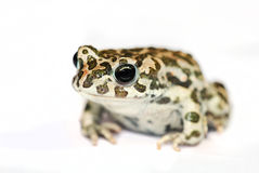 Green Toad Macro Isolated On White Royalty Free Stock Images