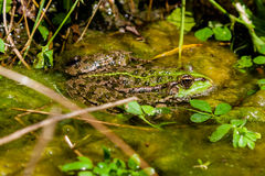 A green toad sits in the water Stock Images