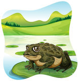 Green toad on water lily Royalty Free Stock Photography