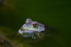 Green Toad's Head Peaking in Body of Water Royalty Free Stock Image