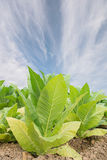 Green tobacco field with blue sky background. Royalty Free Stock Photo