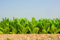 Green tobacco field with plain blue sky background.Tobacco plant Stock Photography