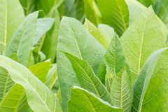 Green tobacco field. Green tobacco field,Tabacco platation stock photo