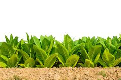 Green tobacco field on white background with clipping path. Stock Image