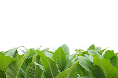 Green tobacco field with white background. Royalty Free Stock Photos