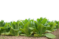 Green tobacco field with white background. Royalty Free Stock Photography